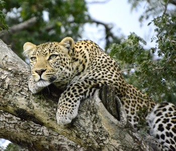 Leopard - Safari - Kenya - Rejsecenter Djursland