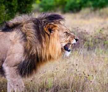 Løve - Safari - Rejsecenter Djursland