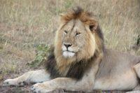 Løve - Safari - Afrika - Rejsecenter Djursland
