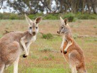 Kænguru, Australien - Rejsecenter Djursland
