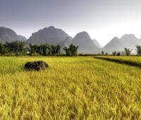 Rismark i Vietnam - Rejsecenter Djursland