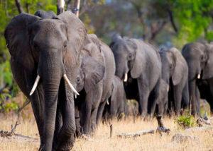 Safari i Zimbabwe