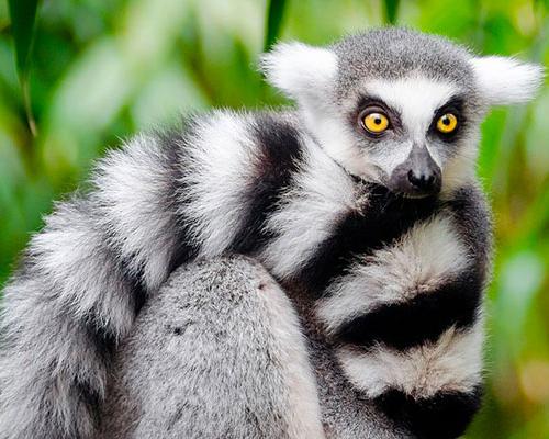 Lemur - www.rejsecenterdjursland.dk