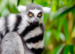 lemur fra Madagaskar