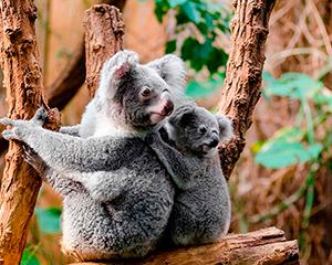 Koalaer - www.rejsecenterdjursland.dk