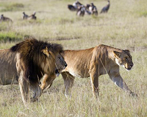 safari i kenya - www.rejsecenterdjursland.dk