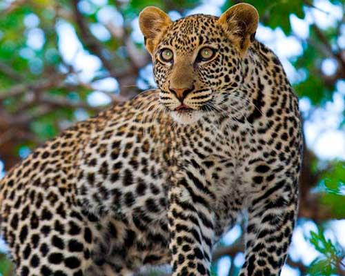 Abedare nationalpark safari i Kenya - www.rejsecenterdjursland.dk
