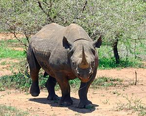 Næsehorn - Hluhluwe – Imfolozi vildtreservat - www.rejsecenterdjursland.dk