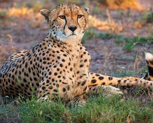 Elefanter og geparder i Kenya - www.rejsecenterdjursland.dk