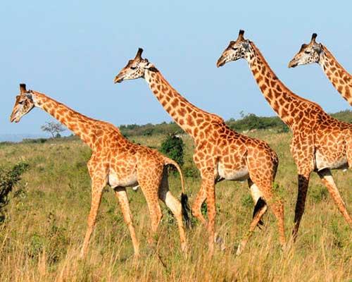 Elefanter og giraffer i Kenya - www.rejsecenterdjursland.dk