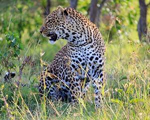 Safari i Mara-nationalparken, Kenya, Afrika - www.rejsecenterdjursland.dk