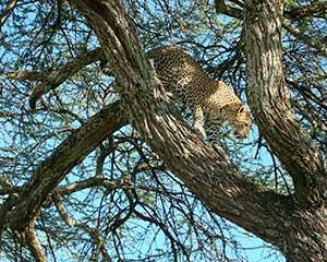 Klassisk safari i Serengeti med www.rejsecenterdjursland.dk