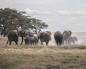 Safari i Masaii Mara Ol Kinyei Kenya - www.rejsecenterdjursland.dk