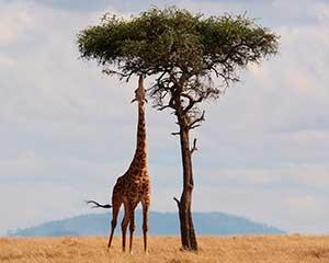 Camp og safari i Kenya, Afrika | www.rejsecenterdjursland.dk