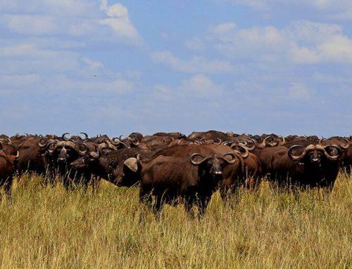 Den store migration på Serengeti