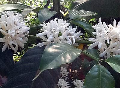 Kaffebuske i blomst - www.rejsecenterdjursland.dk