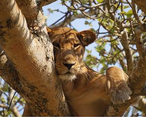 Lake Manyara National Park - træklatrende løver. Mød dem på vores grupperejser.