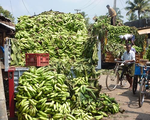 Bananhøst - Kerala - Sydindien - www.rejsecenterdjursland.dk