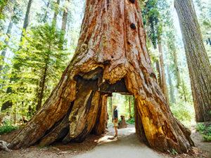 Sequoia - Californien Rundt